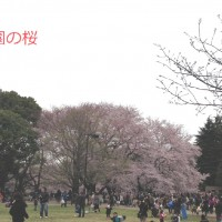 砧公園桜20160403文字付明__