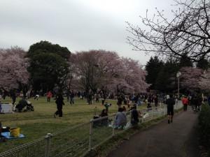 砧公園桜20160403__